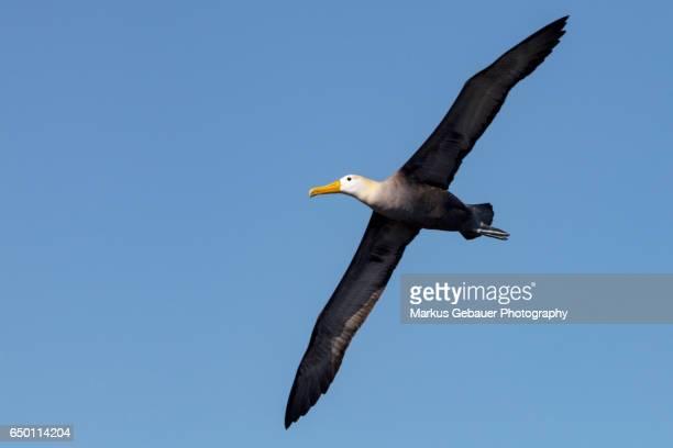 Waved Galapagos albatross in flight