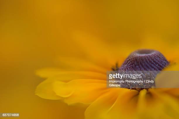 Waves of yellow and orange Brown Eyed Susan