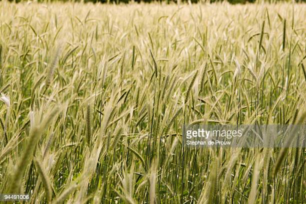 waving field wheat - stephan de prouw stock pictures, royalty-free photos & images