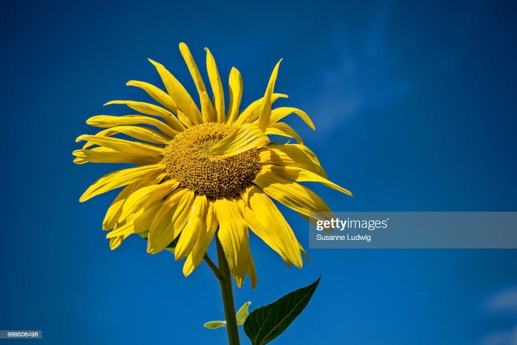 waving sunflower : Stock Photo