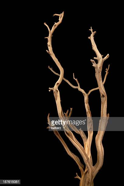 Wavy branches with no leaves isolated on a black background
