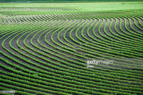Wavy lines of planted crops in a field