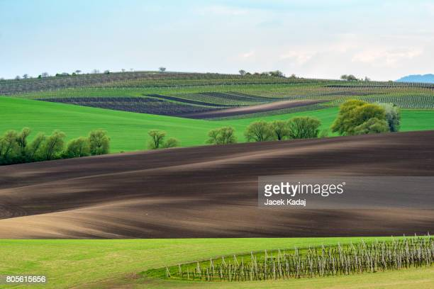 Wavy vineyard fields