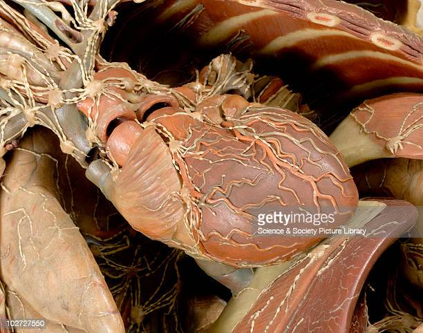 Wax anatomical model of a female showing internal organs Florence Italy 1818 Detail of wax anatomical model of female torso and head showing internal...