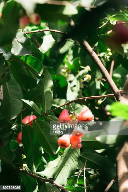 60 Top Java Apple Tree Pictures, Photos, & Images - Getty Images