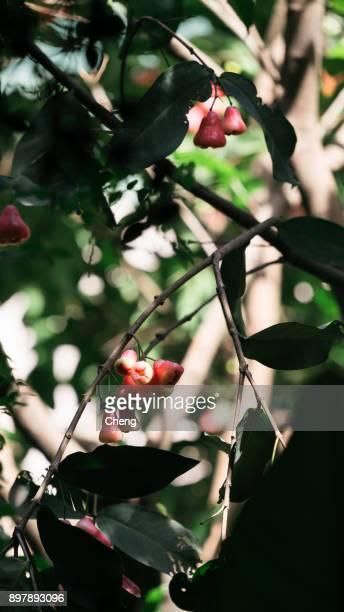 wax apple on trees