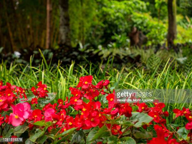 wax begonia or clubed begonia (begonia cucullata) in a garden in medellin, colombia - begonia stock pictures, royalty-free photos & images