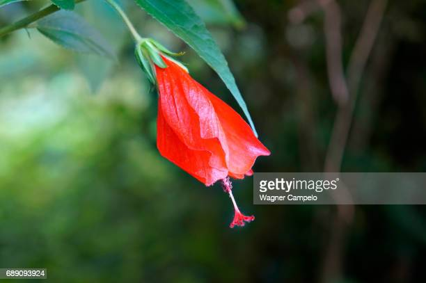 wax mallow flower or turk's turban flower - images of brazilian wax stock pictures, royalty-free photos & images