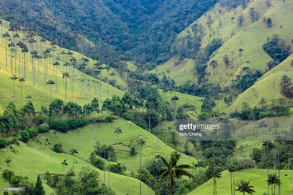 Wax palms in Cocora Valley : Stock Photo