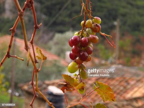Wax-shiny grapes