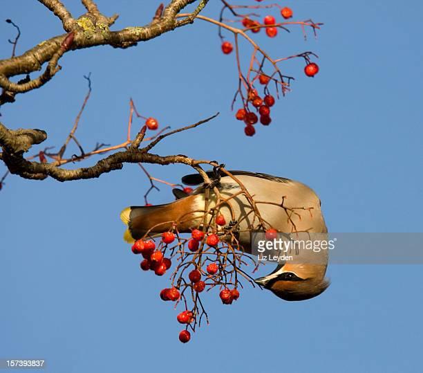 Waxwing eating Rowan Berries
