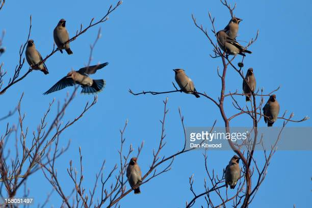 Waxwings gather on trees on December 9 2012 in London England Thousands of Waxwings have descended on Great Britain after the failure of the birds...