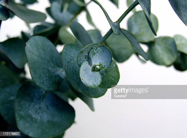 Waxy dark green eucalyptus leaves on a branch
