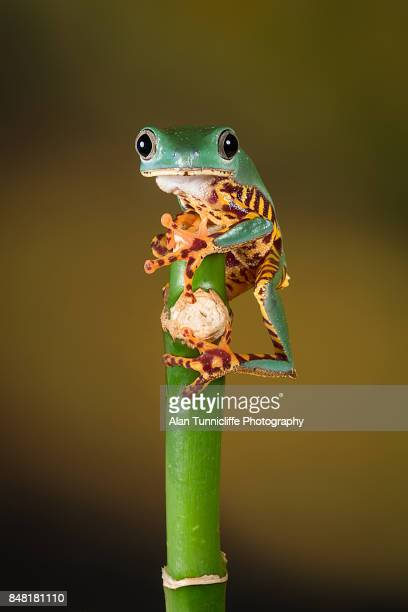 waxy tree frog - frog stock pictures, royalty-free photos & images