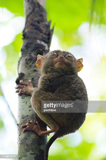way is up - tarsier stock photos and pictures