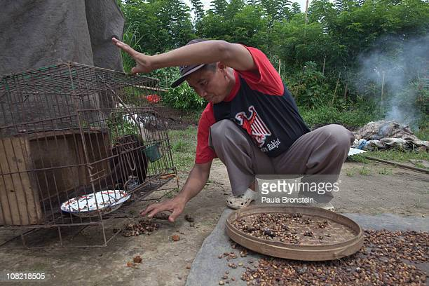 Wayan Dira collects the Luwak stool under their cage January 20 2011 in Pupuan village Bali Indonesia The stool is collected once a day for...