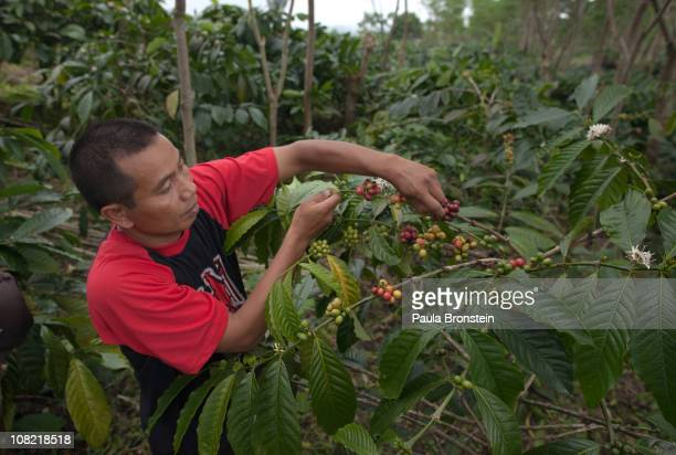 Wayan Dira picks red coffee berries to feed his Luwaks January 20 2011 in Pupuan village Bali Indonesia Sari and her husband Wayan Dira have had a...