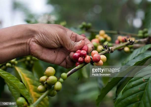 Wayan Dira picks robusta coffee beans on his plantation January 20 2011 in Pupuan village Bali Indonesia Sari Artini and her husband Wayan Dira have...