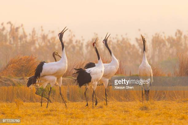 we are family - japanese crane stock pictures, royalty-free photos & images