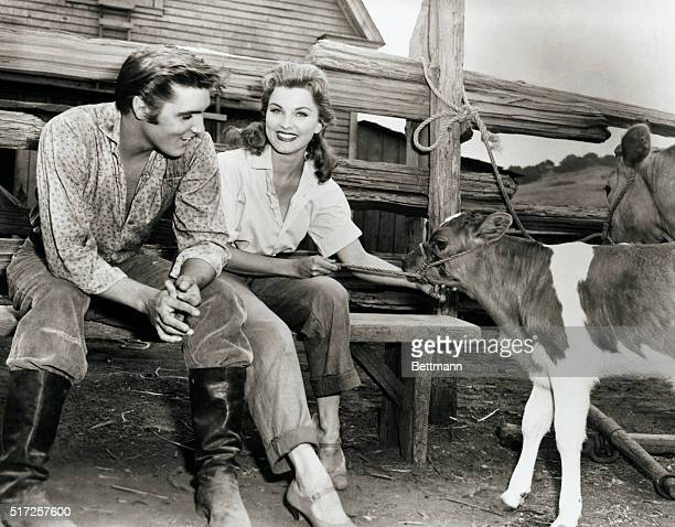 We don't know if it is the calming effect of actress Debra Paget of the tranquility of the calf but gyrating Elvis Presley seems unusually placid in...