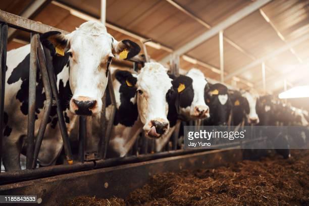 私たちはあなたに最高のものを与えるために最善を食べる - 家畜牛 ストックフォトと画像