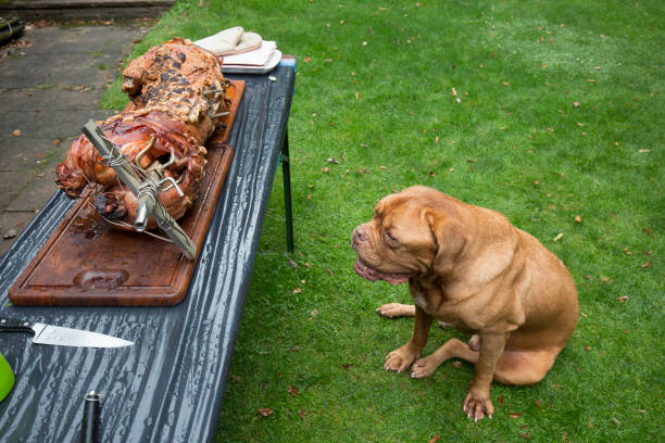 We grill a suckling pig. The finnished grilled suckling pig and a longing look of the Bordeaux Great Dane.