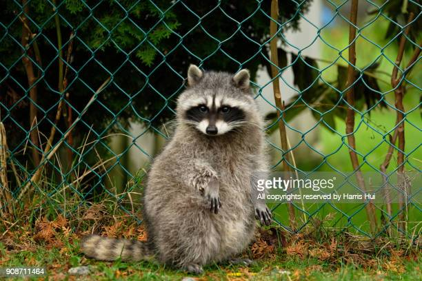 we miss coon coon - raccoon stock pictures, royalty-free photos & images
