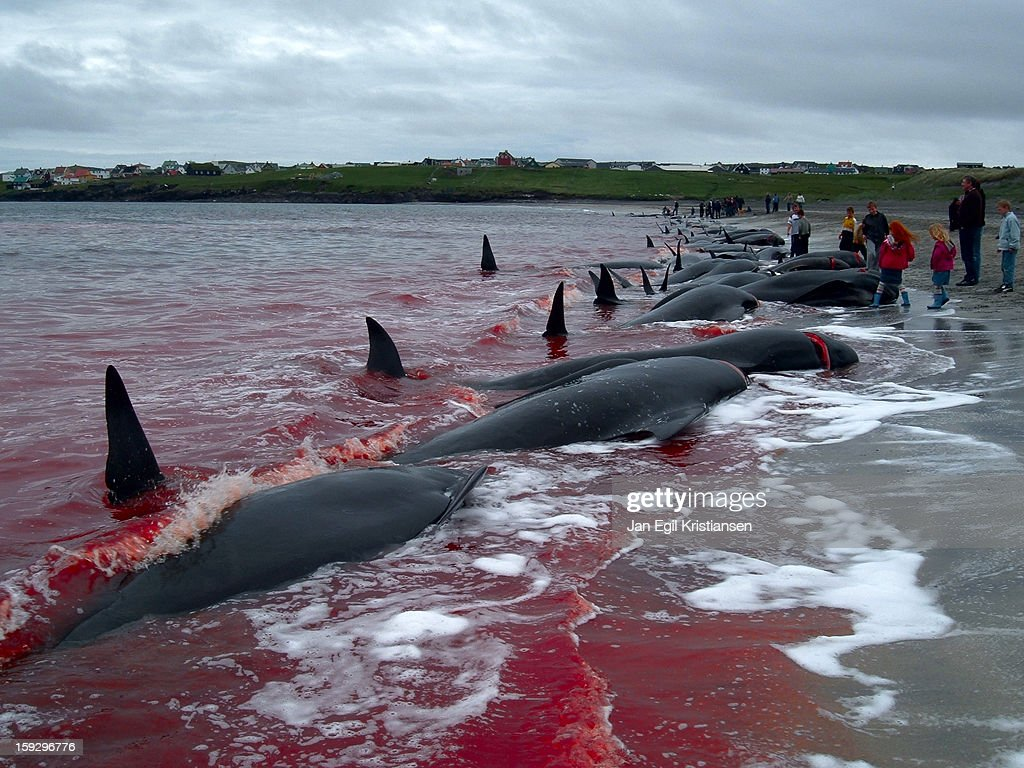 Whaling in the Faroe Islands : News Photo