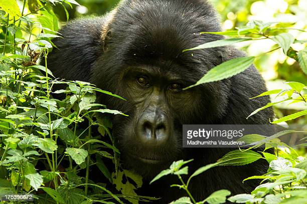 CONTENT] We were so engrossed in observing the dominant Silverback of the Bitukura group we forgot to sense our surroundings Our ranger Steven...