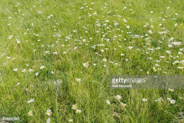 Wealden wild flower at the field