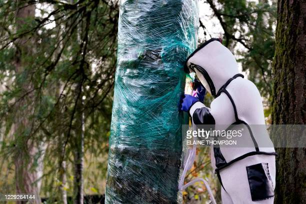 Wearing a protective suit, Washington State Department of Agriculture entomologist Chris Looney fills a tree cavity with carbon dioxide after...