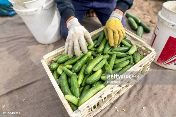 Wearing gloves to protect against the coronavirus, A palestinian farmer collect Cucumber from their field located at a farm, near the beach in Gaza...