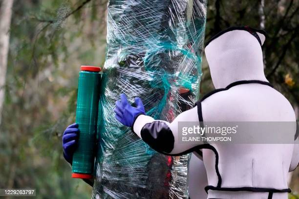 Wearing protective suits, Washington State Department of Agriculture workers finish wrapping a tree in plastic after working to eradicate a nest...