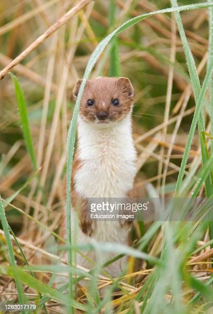 Weasel, Mustela nivalis, East Bank Cley, Norfolk.