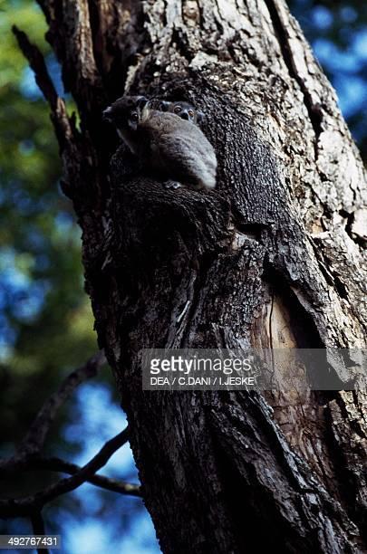 Weasel sportive lemur Lepilemuridae Madagascar