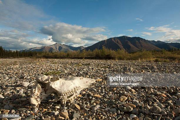 Weather bleached moose scull, gravel bar, Wind River, Peel Watershed, Yukon Territory, Canada