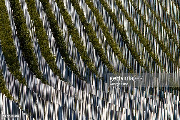 Weather resistant galvanized steel vineyard stakes glisten in the early morning light on February 24 near Los Olivos, California. Most of Southern...