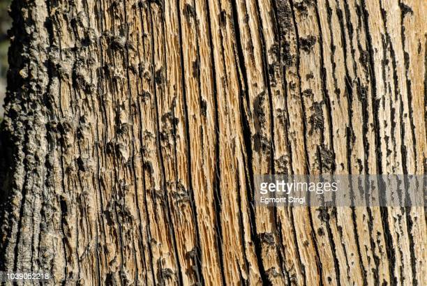 weather-beaten wood, juniper tree bark, western juniper (juniperus occidentalis var. occidentalis), high desert, oregon, usa - western juniper tree stock pictures, royalty-free photos & images