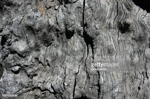 weathered dead eucalyptus tree trunk - bumpy stock photos and pictures