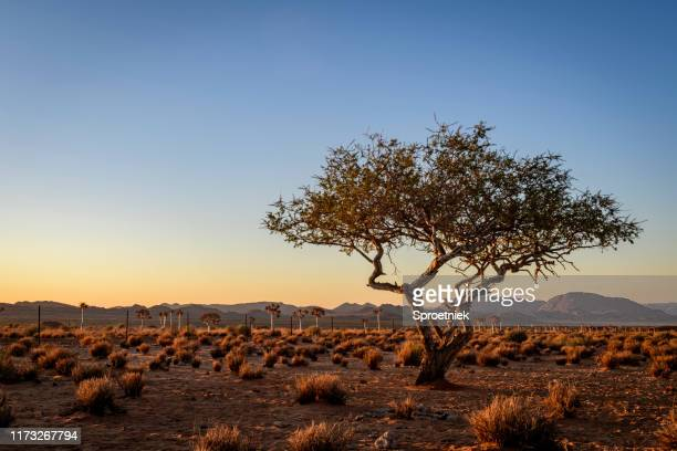 weathered desert tree at last light - tree stock pictures, royalty-free photos & images