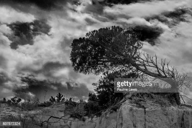 Weathered Pine Tree