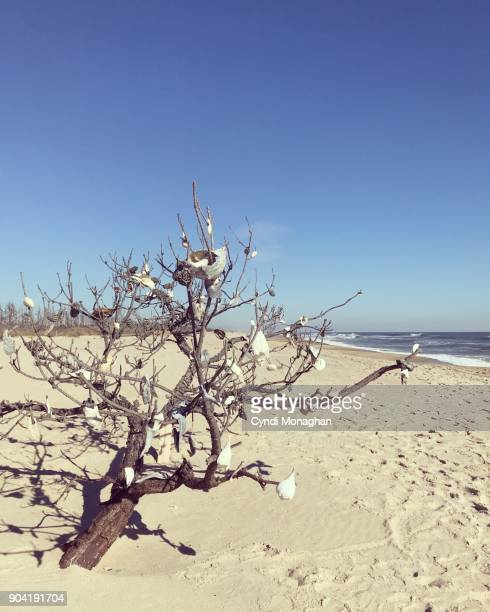 Weathered Seashells Decorate a Windswept Tree on the Beach