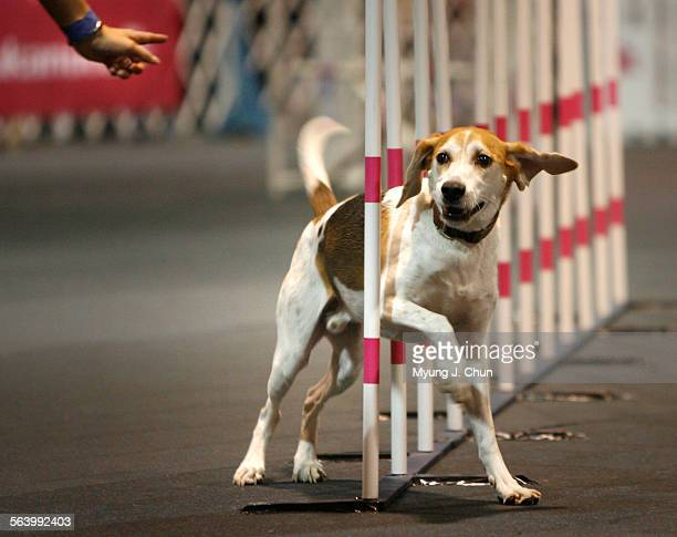 Weaver an American foxhound follows directions while running the agility course at the AKC/Eukanuba National Championship dog show at the Long Beach...