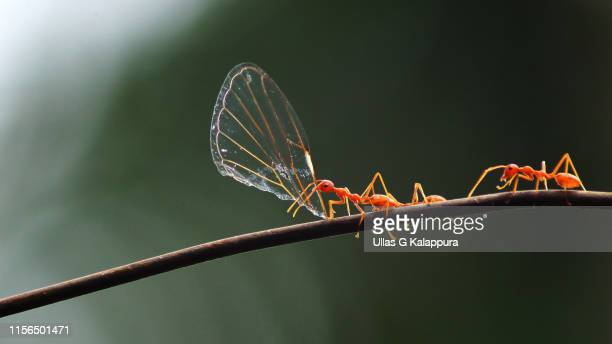 weaver ant carrying a cicada wing and running - cicala foto e immagini stock