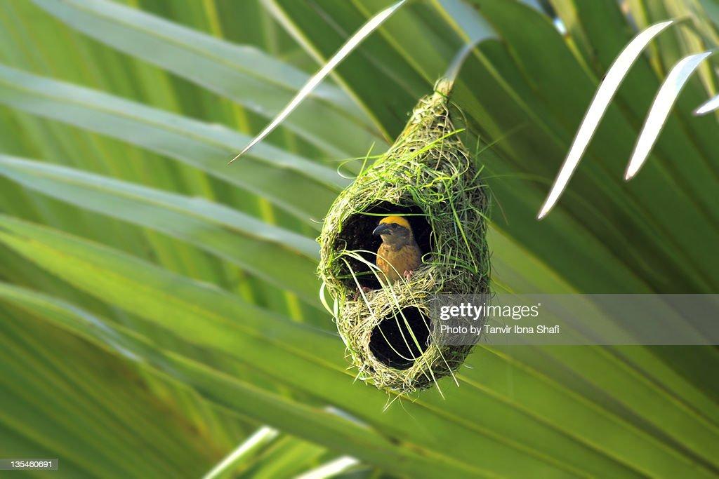 Weaver bird in nest : Stock Photo