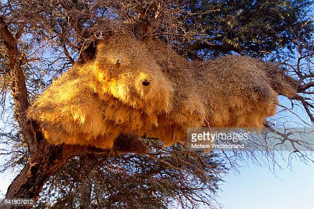 weaver bird nest - michele weaver stock pictures, royalty-free photos & images