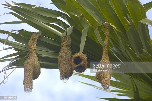 Weaver Bird or Babui Pakhi makes their nests on Palm tree Raipura Norshindi Bangladesh July 13 2007