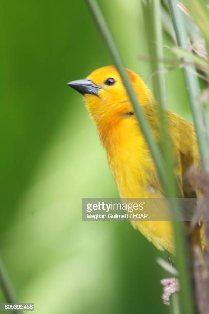 weaver bird perching on tree branch - meghan stock photos and pictures