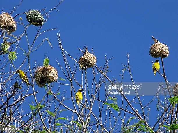 Weaverbirds Colony