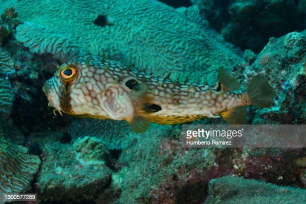 web burrfish. - スクーバダイビングの視点 ストックフォトと画像